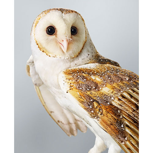 Leila Jeffreys, 'Ivy' Barn Owl, 2014. Photograph, 112 x 89cm, edition of 14. From $2,750 unframed.